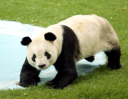 OSOS Panda..... - Página 2 Panda1