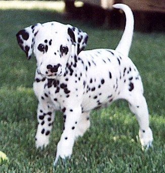 Dalmatinski pas DalmatianDog-Puppy-Tache2