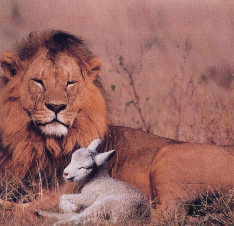 Humore montazhi dhe foto tjera humoristike - Faqe 2 LionAndSheepLamb-animal02