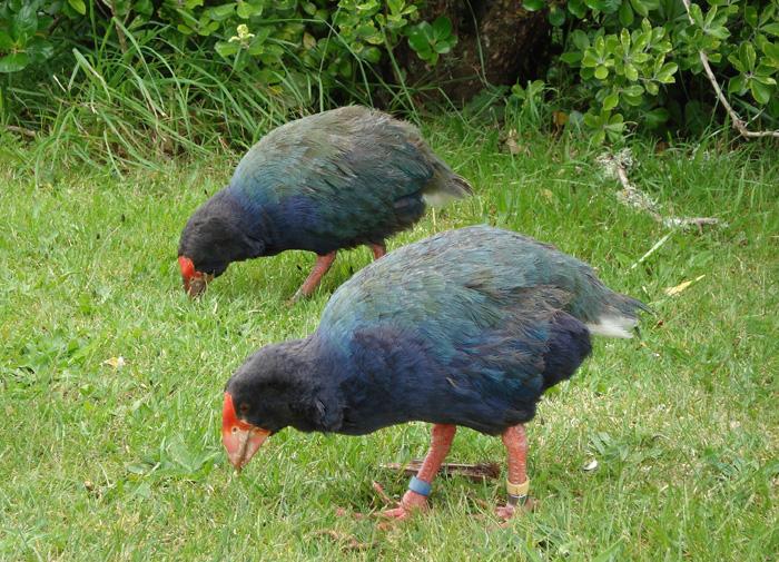عصفور تاكاهي مهدد بالانقراض  Takahe-dsc00484