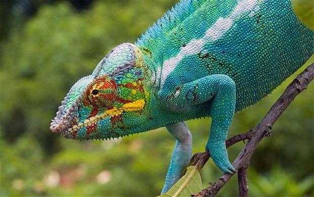 Bestiario de Personajes Chameleon-facts-for-kids1