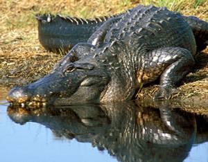 Крокодил Alligator_mississippiensis
