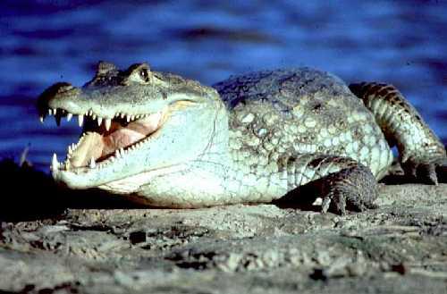 Крокодил Caiman_crocodilus