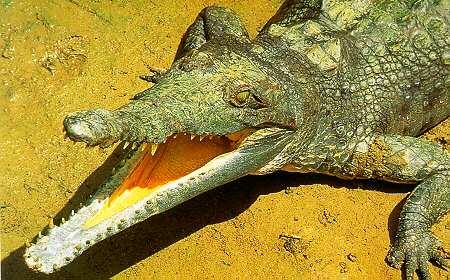 Крокодил Crocodylus_intermedius