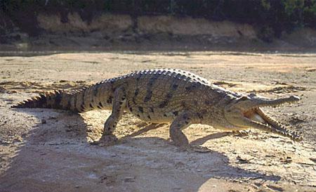 Крокодил Crocodylus_johnstoni