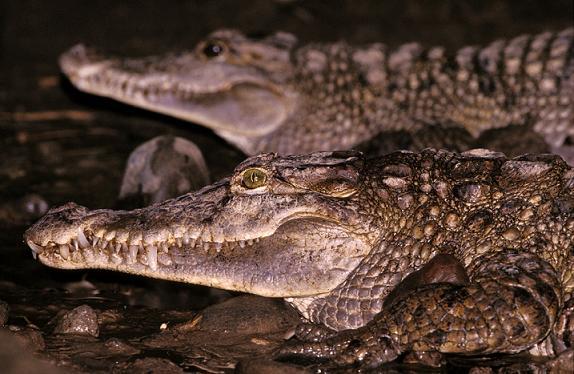 Крокодил Crocodylus_mindorensis
