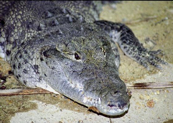 Крокодил Crocodylus_moreletii