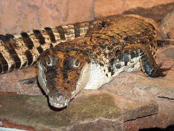 Крокодил Crocodylus_novaeguineae