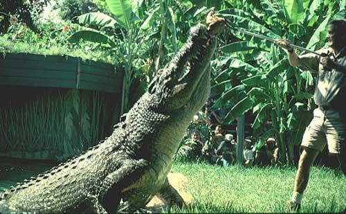 Крокодил Crocodylus_porosus