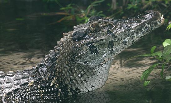 Крокодил Melanosuchus_niger