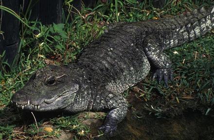 Крокодил Osteolaemus_tetraspis