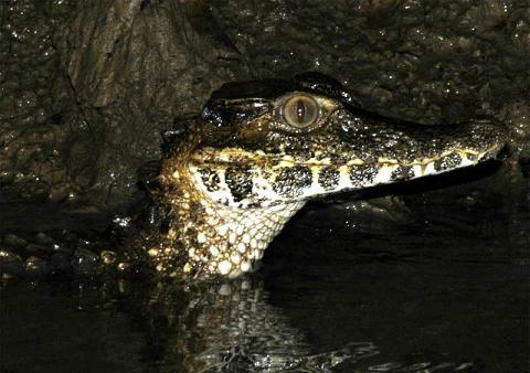 Крокодил Paleosuchus_palpebrosus