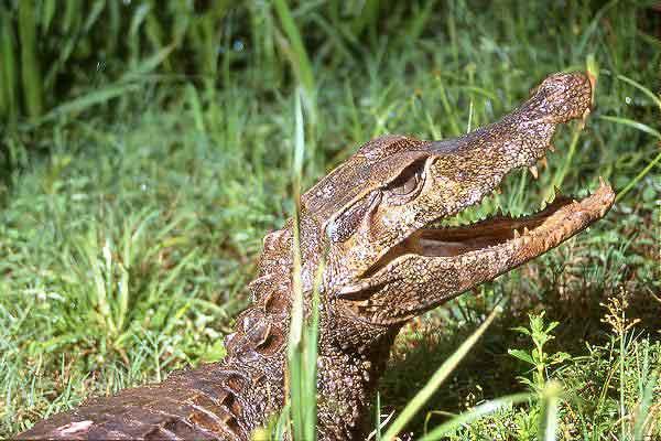 Крокодил Paleosuchus_trigonatus