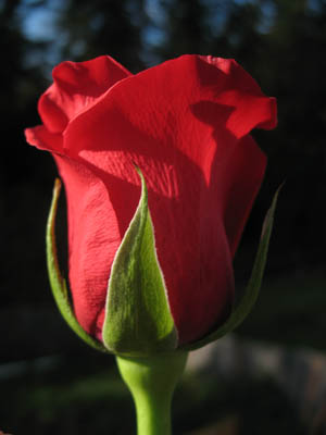 Ruža Red-rose-tall