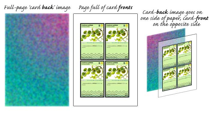 "What should the card ""backs"" look like? - Page 2 Phylo-card-backs_fronts"