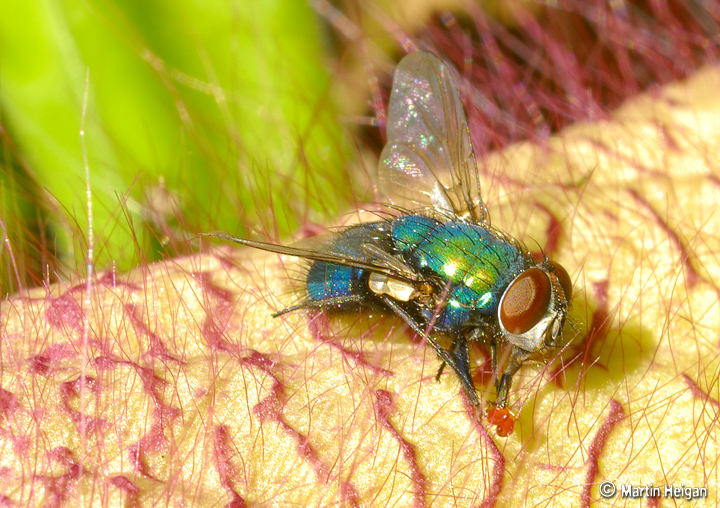 Apocynaceae - sous-famille Asclepiadoideae X_Fly