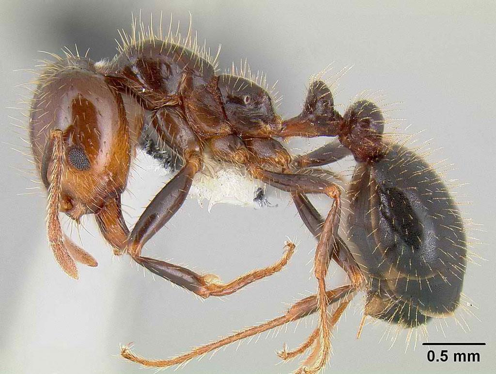 un animal - Blucat - 9 octobre trouvé par Martine - Page 2 Solenopsis_xyloni_casent0106041_p_1_high
