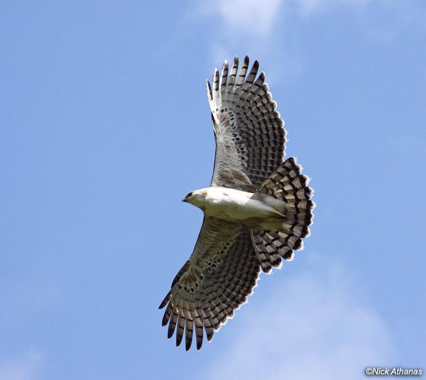 Falconiformes. Família  Acciptridae - Subfamília Buteonidade- Gaviões de penacho. genêro SPIZAETUS Black-and-chestnut-Eagle-juv-cajanuma_6906