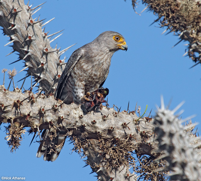 Falconiformes. sub Falconidae - sub fam Falconinae - gênero Falco - Página 3 Banded-Kestrel-ifaty_7148