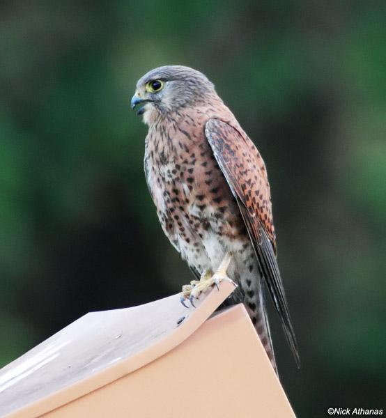 Falconiformes. sub Falconidae - sub fam Falconinae - gênero Falco - Página 2 Madagascar-Kestrel-female-antsirabe_8498