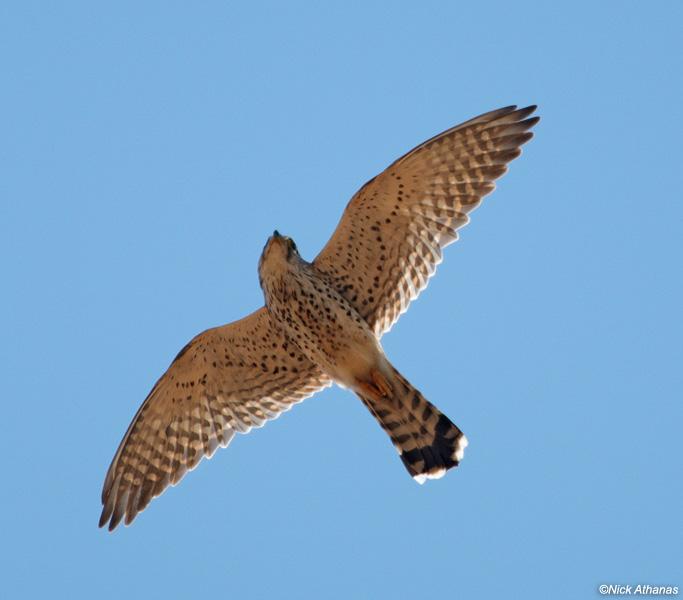 Falconiformes. sub Falconidae - sub fam Falconinae - gênero Falco - Página 2 Madagascar-Kestrel-female-ifaty_6883