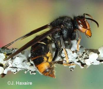 El caso de las abejas desaparecidas. Vespa_velutina_03