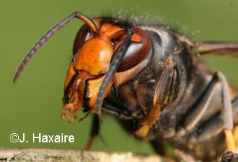 El caso de las abejas desaparecidas. Vespa_velutina_13