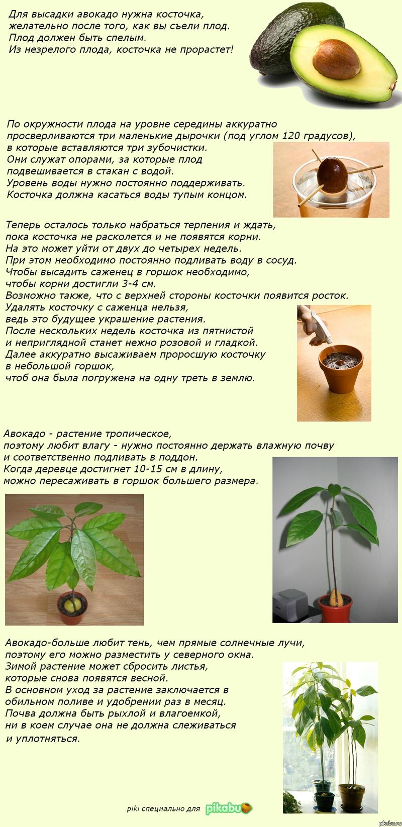 Как вырастить авокадо из косточки в домашних условиях 0zn