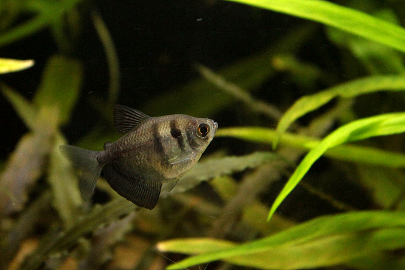 L'aquariophilie: une bonne thérapie Tetranoir01