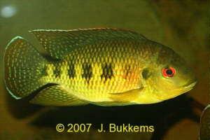 Que peixe é esse? Novas fotos.11\02\13 Tilapia_mariae