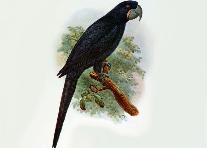 Вымершие и уничтоженные виды попугаев и других птиц Ara-guadeloupensis__medium