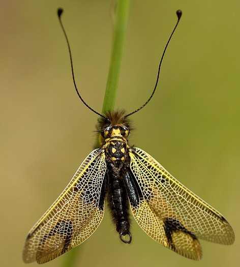 Un insecte - Cathy -  29 Décembre - trouvé par Martine Ascalaphus-longicornis-male-1