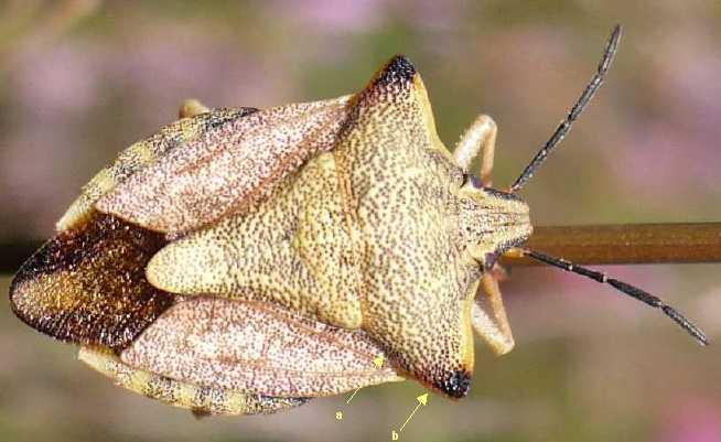 Carpocoris  Carpocoris-purpureipennis-9
