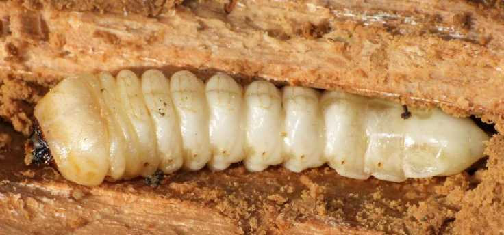 que suis -je - ajonc- 30 août 2016 trouvé par Martine Cerambycide-larve-bois