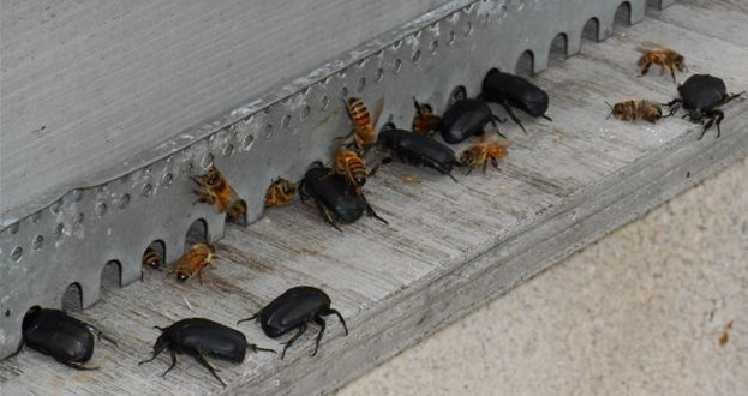cafard dans la ruche Cetoines-entree-ruche-1