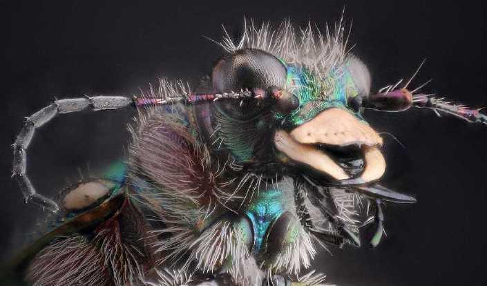 Le monde merveilleux des insectes - Page 2 Cicindela-campestris-macro