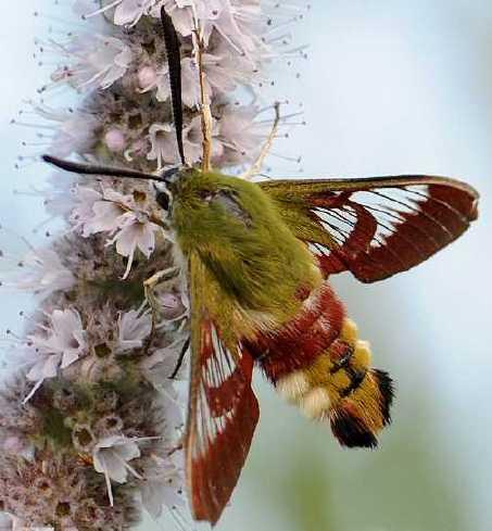Le monde merveilleux des insectes - Page 2 Hemaris-fuciformis-15