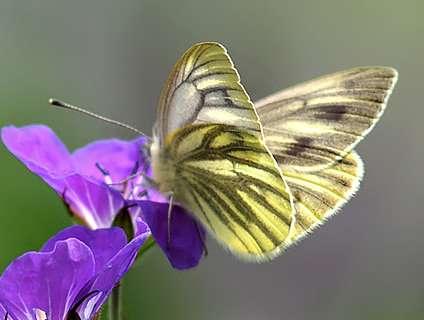le papillon de Martin du 10 février trouvé par Gin-to Pieris-napi-f-1