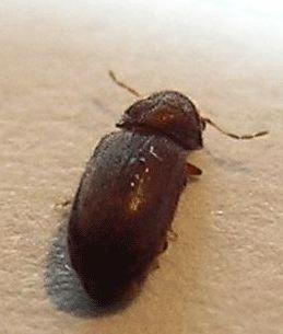 Insecte noir, carapace croquante, 2mm, volant! Au secours ! Stegobium-paniceum2
