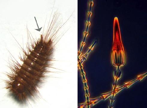 Un insecte en forme de scorpion Larve-Dermestide