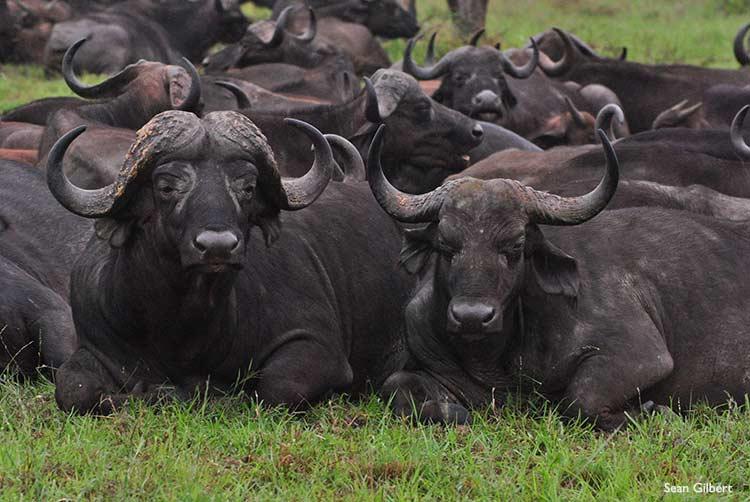 Battat Terra Cape Buffalo- a walkaround Male-Buffalo-Left-Female-Right
