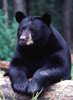 Medvjedi Bear_am