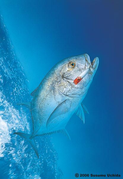 La pesca del Giant Trevally / Caranx ignobilis por José Manuel López Pinto Giant_Trevally_w