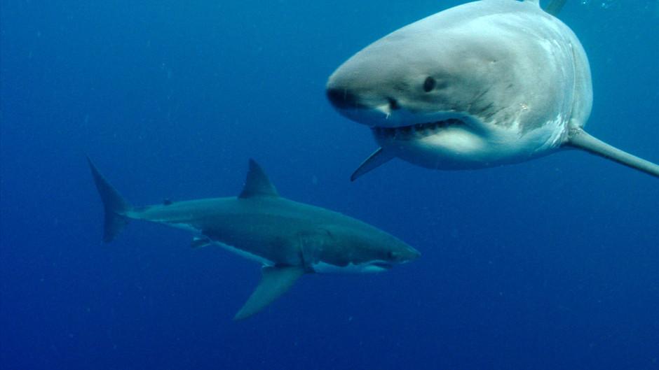 صور القرش الأبيض 31255