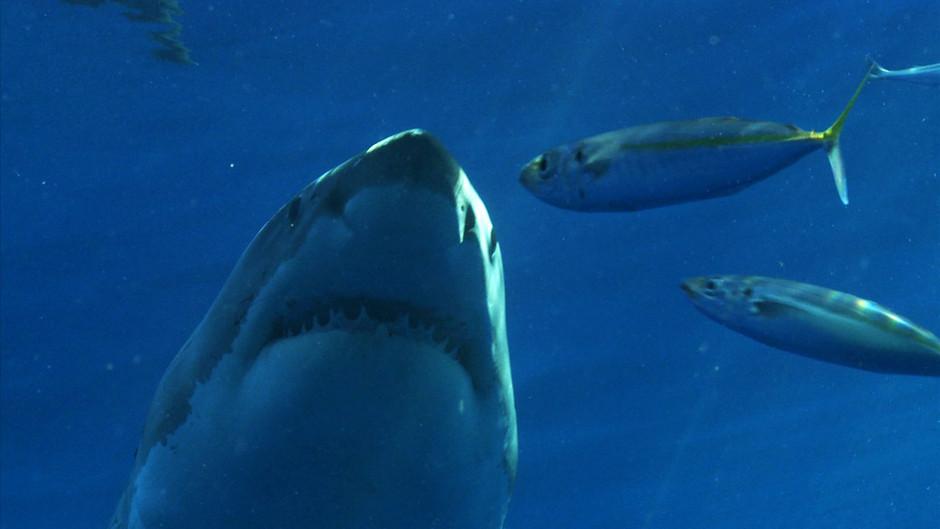 صور القرش الأبيض 31256