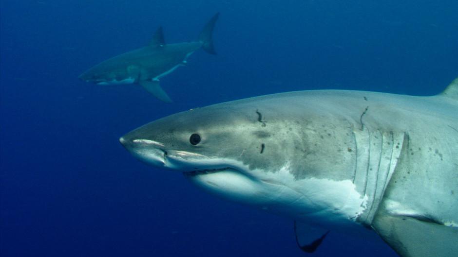 صور القرش الأبيض 31257