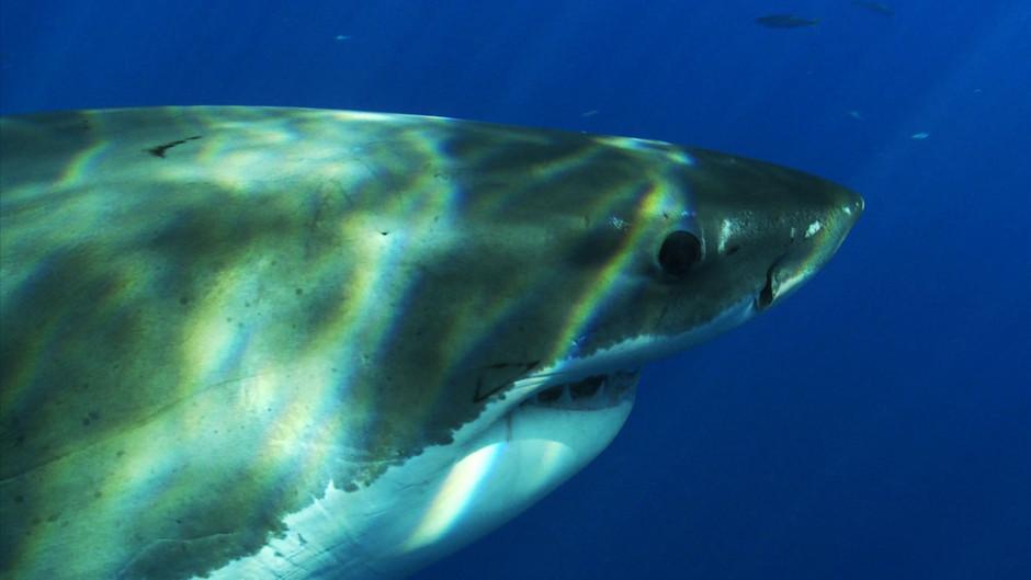 صور القرش الأبيض 31259