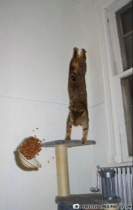 Images insolites - Page 3 Hand-Standing-Cat-makes-food-bowl-hover