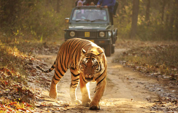 indigene Völker in Reservaten- Garanten der Biodiversität Royal-bengal-tiger-kanha-cut_article_column