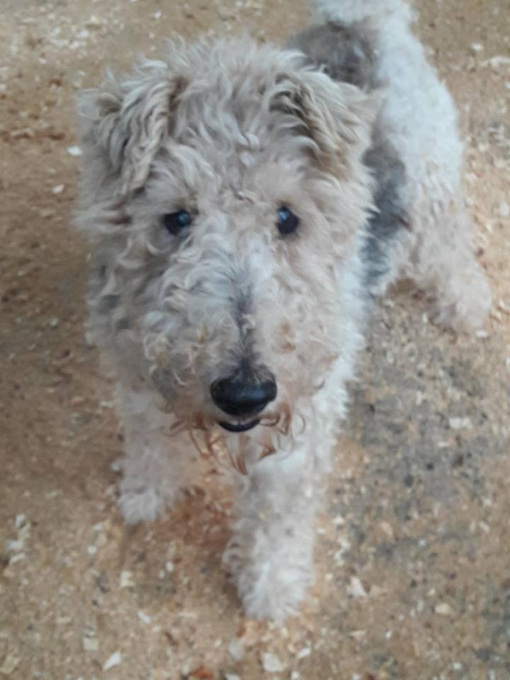 HAPPY - fox terrier 13 ans -  Chenil refuge de Sisteron (04) 2606559307